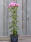 "Mobile Preview: Phlox Flammenblume (Phlox paniculata ""Bright Eyes"") im Container"