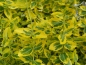 "Mobile Preview: Gelbbunter Spindelstrauch (Euonymus fortunei ""Emerald'n Gold"") im Container"