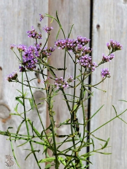 "Eisenkraut Lollipop (Verbena bonariensis ""Lollipop"") Co."