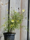 "Mädchenauge Moonbeam (Coreopsis verticilata ""Moonbeam"") im Container"